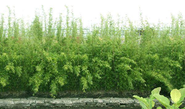 bamboe haag groot
